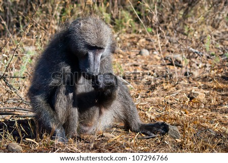 Baboon at a Nature Reserve in South Africa