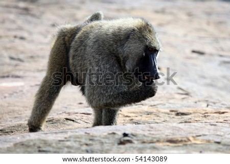 Baboon at Abela Rock in Katakwi, Uganda - The Pearl of Africa