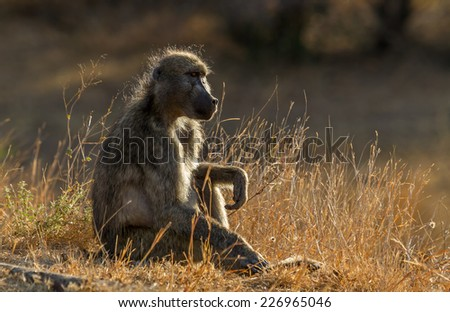 Baboon at Kruger National Park, South Africa - stock photo
