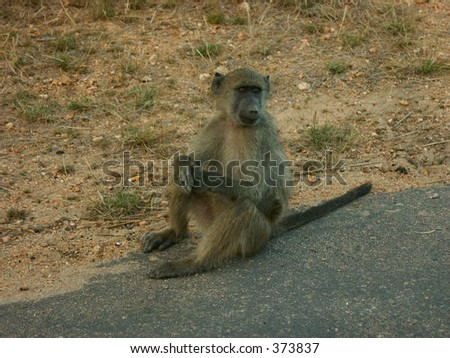 Baboon at rest - stock photo