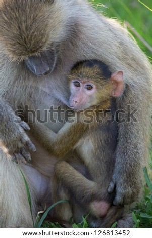 Baboon baby breast feeding with mother - stock photo