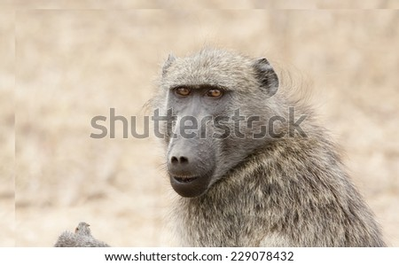 Baboon Face - stock photo
