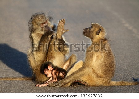 Baboon family grooming sitting in road - stock photo