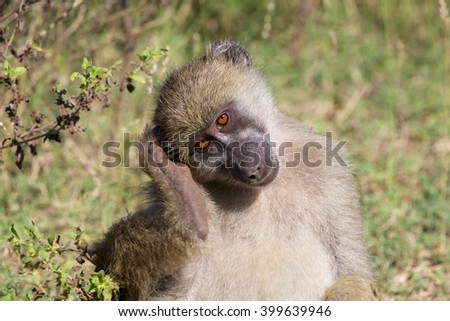 baboon in the kruger national park south africa - stock photo