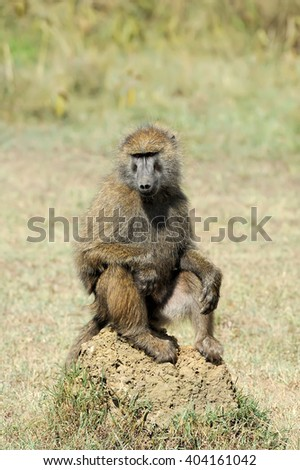 Baboon monkey in National park of Kenya, Africa - stock photo
