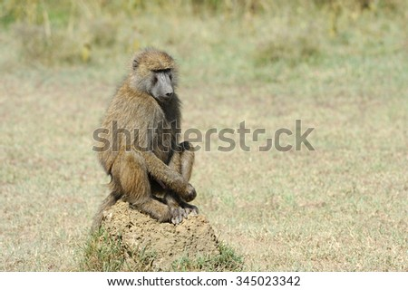Baboon on stone in National park of Kenya, Africa - stock photo
