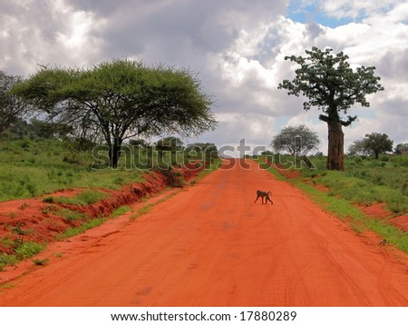 Baboon passes by the way in Tsavo East National Park. - stock photo
