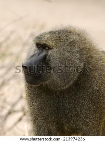 Baboon Portrait - stock photo