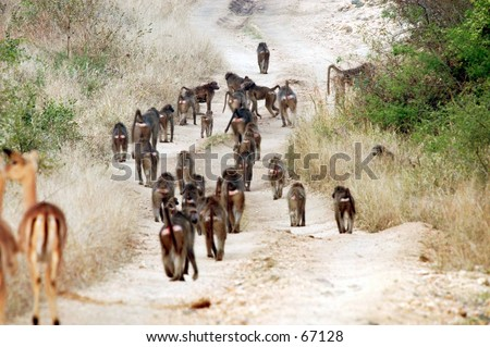 Baboon troop. Ngala game preserve, Republic of South Africa