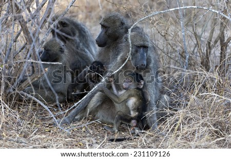 Baboons in the Kruger National Park South Africa, Family group - stock photo