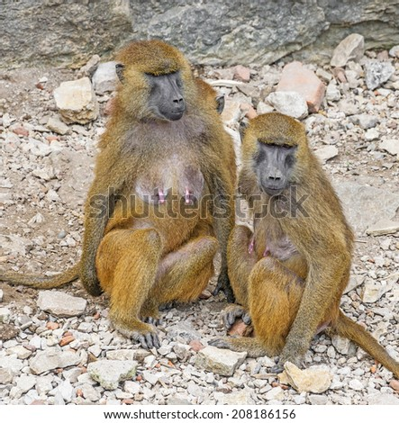 baboons - papio ursinus - stock photo
