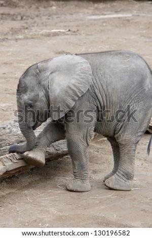 Baby African Elephant - stock photo