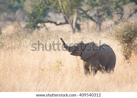 Baby african elephant  (Loxodonta africana), Kruger Park, South Africa - stock photo