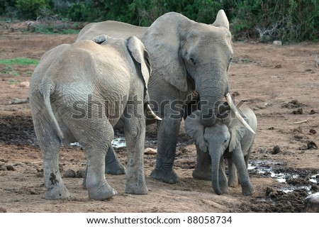 Baby African elephant standing under it's mothers trunk - stock photo