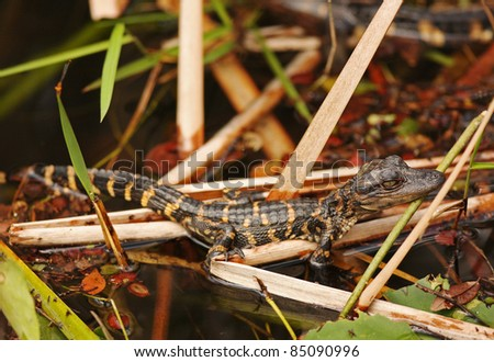 Baby American Alligator (Alligator mississippiensis) hide in the sawgrass in Everglades National Park, Florida - stock photo