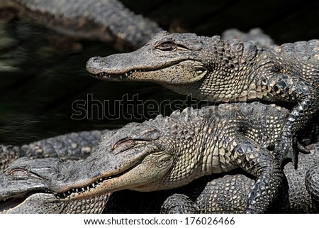 Baby American Alligators (alligator mississippiensis) basking in the sun in the Florida Everglades - stock photo