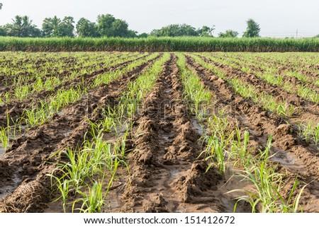 Baby and young sugar cane farmland - stock photo