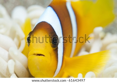 baby anemone fish - stock photo