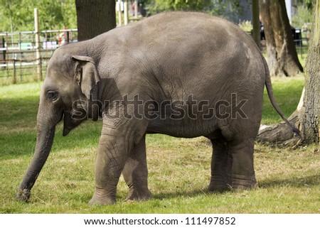 Baby Asian Elephant Walking - stock photo