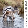 Baby at the Lake / A baby zebra walks in the water hole as his herd stands near by. - stock photo