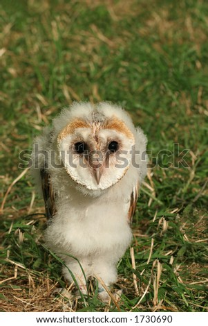 Baby barn owl standing on the grass.