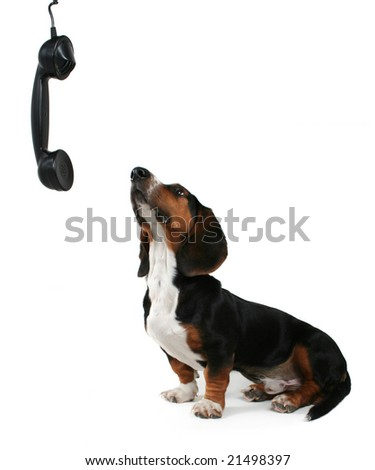 baby basset hound looking up at a phone on white