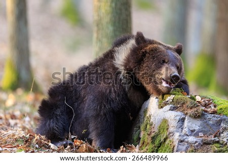 baby bear - stock photo