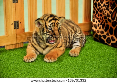 Baby bengal tiger has taken care by the zookeeper - stock photo