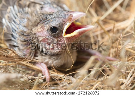 Baby bird hungry in the Bird Nest - stock photo