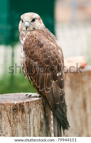 Baby bird of a falcon ( Falco cherrug) sitting on a tree. Looks in a lens - stock photo