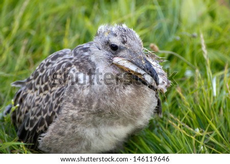 Baby bird of a seagull eating a meal