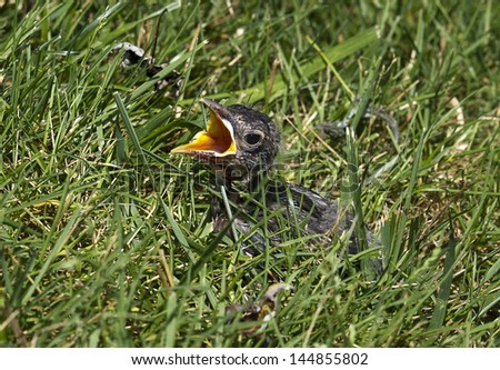 Baby bird separated from its mother and feeling lost in the grass - stock photo