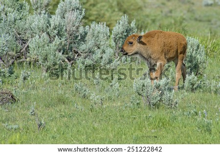 Baby Bison in field of sagebrush. - stock photo