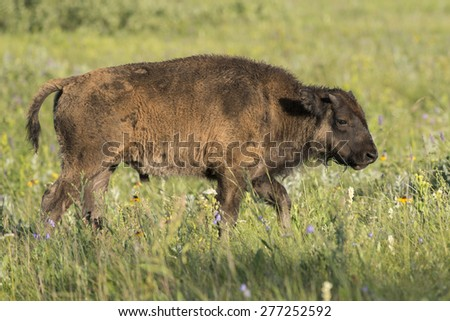Baby Bison walking in a field, Lake Audy Campground, Riding Mountain National Park, Manitoba, Canada - stock photo