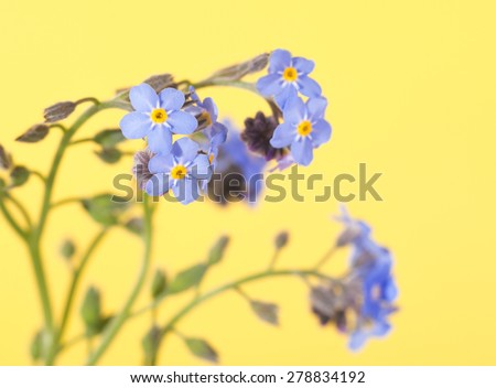 Baby blue Forget-me-not flowers on light yellow background - stock photo