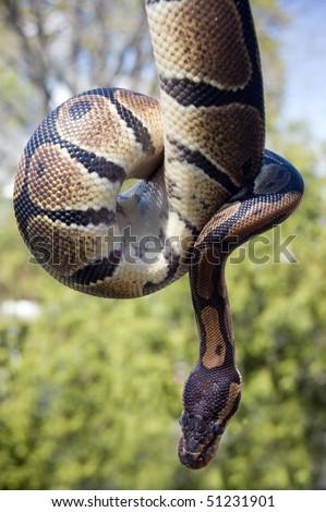 baby boa snake wild animal - stock photo