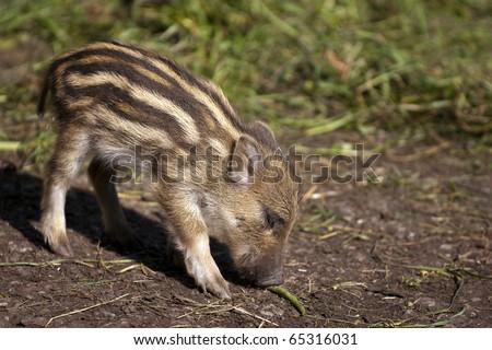 Baby Boar - stock photo