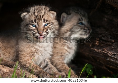 Baby Bobcat Kits (Lynx rufus) Open Mouth - captive animals - stock photo