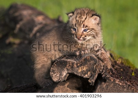 Baby Bobcat (Lynx rufus) Gazes Out from Atop Log - captive animal - stock photo