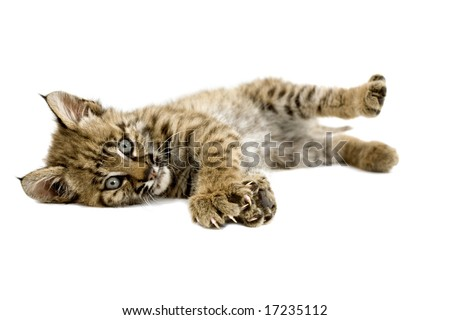 Baby bobcat resting and stretching his claws, isolated on a white background - stock photo