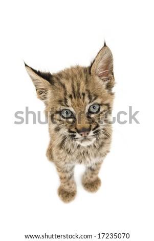 Baby bobcat sitting isolated on a white background - stock photo