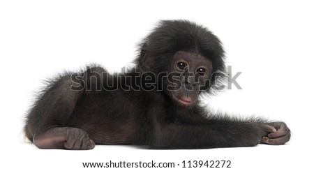 Baby bonobo, Pan paniscus, 4 months old, lying against white background - stock photo