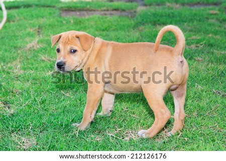 baby brown thai dog on the grass field - stock photo