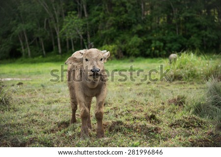 Baby buffalo stand in field.