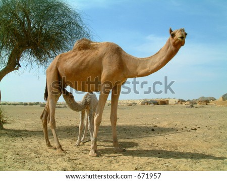 Baby camel feeding on mother camel in the desert in india - stock photo