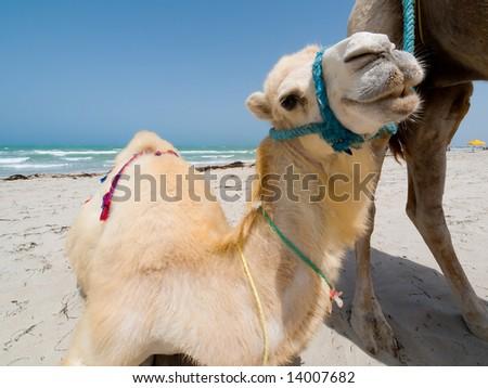 Baby Camel on Tunisian beach - stock photo