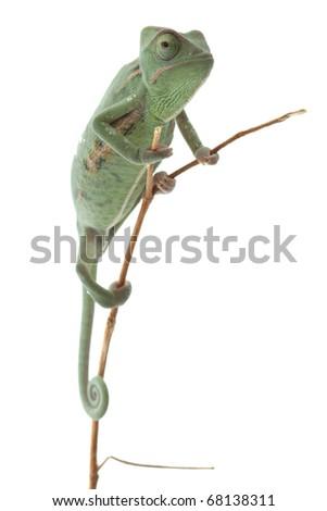 Baby chameleon posing in light tent macro focused on eyes  sc 1 st  Shutterstock & Baby Chameleon Posing Light Tent Macro Stock Photo 68138311 ...