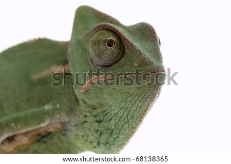 Baby chameleon posing in light tent macro focused on eyes  sc 1 st  Shutterstock & Baby Chameleon Posing Light Tent Macro Stock Photo 79698037 ...