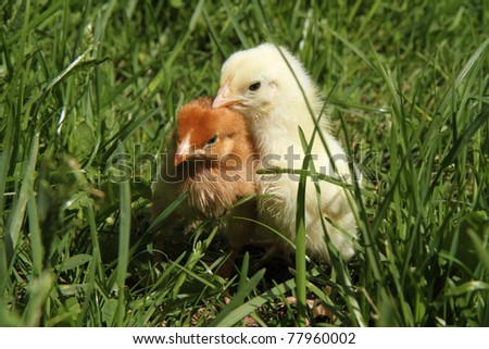 Baby chickens on grass - stock photo