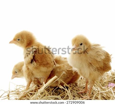 Baby chicks  - stock photo